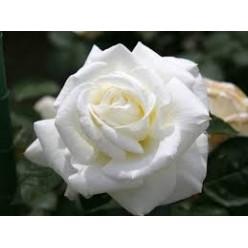 Роза Мемори чайно-гибридная (саж. ЗКС) каперс