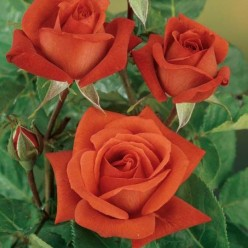 Роза Терракота  чайно-гибридная  (саж. ЗКС) каперс