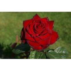 "Роза штамбовая Шварце Мадонна  ""Monteаgro"" 8.57"