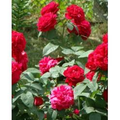 """Роза флорибунда Фоерланд """"Monteаgro"""" 8.92"""