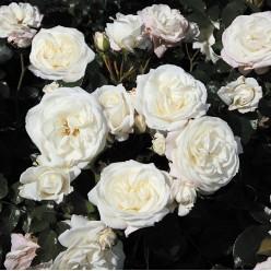 "Роза Alabaster флорибунда (саж. ЗКС) коробка Сербия ""БТ"""