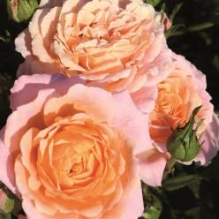 "Роза Peach Clementine миниатюрная (саж. ЗКС) коробка Сербия ""БТ"""