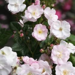 "Роза Perennial Blush рамблер/плетистая (саж. ЗКС) коробка Сербия ""БТ"""