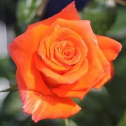 Роза Моника чайно-гибр.  (саж. ЗКС)