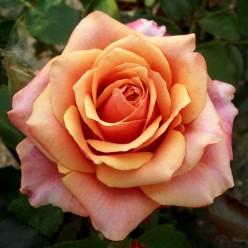 """Роза Sherry brandy чайно-гибридная  (саж. ЗКС) коробка Сербия """"RI"""""""