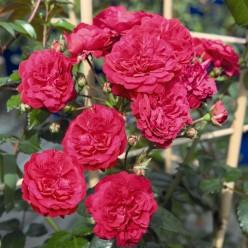 "Роза Starlet Rose Lola плетистая (саж. ЗКС) коробка Сербия ""БТ"""