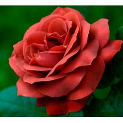 Роза Тэрракота чайно-гибридная  С3