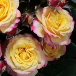 "Роза Tropical Clementine миниатюрная (саж. ЗКС) коробка Сербия ""БТ"""