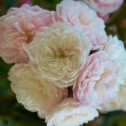 Роза Starlet Rose Alina Tantauплетистая горшок С3