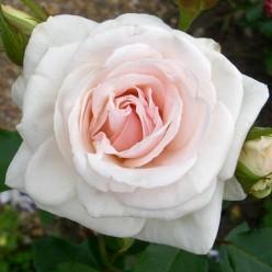 Роза Swenensse плетистая горшок С3