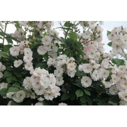 Роза Perennial Blush рамблер/плетистая C3