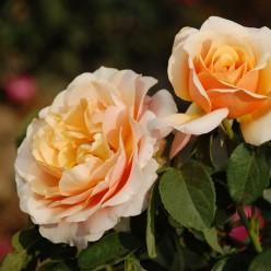 Роза Свит Леди чайно-гибридная  (саж. ЗКС) каперс