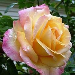 Роза Пис чайно-гибридная (саж. ЗКС) каперс