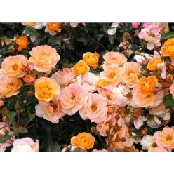 Роза Седана почвопокровная (саж. ЗКС) каперс