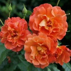 Роза Вестэрланд парковая грандифлора (саж. ЗКС) каперс