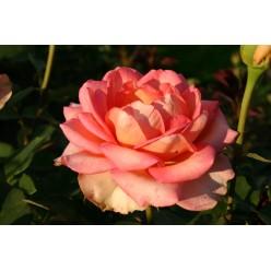 Роза Фантазия Мондиаль чайно-гибридная (саж. ЗКС) каперс