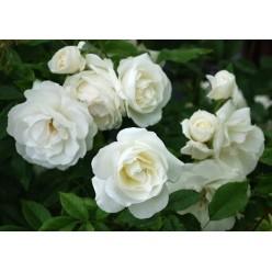 Роза штамбовая Шнеевитхен 8.56