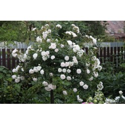 Роза штамбовая Свани 8.60
