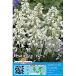 Сцилла Hispanica White 8шт р.7/8 луковица 12426