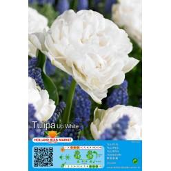 Тюльпан Up White 5шт р.11/12 луковица 75063